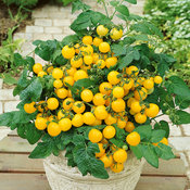 tomato-patio-sunshine-yellow.jpg