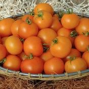 tomato_bellini_1.jpg