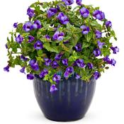 torenia_summer_wave_blue.jpg
