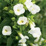Catalina® White Linen - Wishbone Flower - Torenia