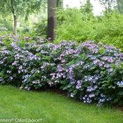 Tuff Stuff Hydrangea serrata (mountain hydrangea)