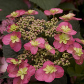 Tuff Stuff™ Red - Mountain Hydrangea - Hydrangea serrata