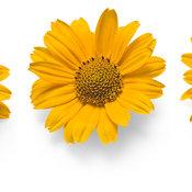 tuscansunheliopsis01.jpg