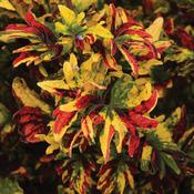 Twist and Twirl® - Coleus - Solenostemon scutellarioides