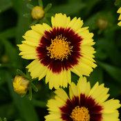 uptick_yellowred_coreopsis_cor15-19460.jpg