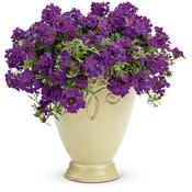 verbena tapien blue violet.jpg