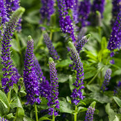Magic Show® 'Enchanted Indigo' - Spike Speedwell - Veronica hybrid