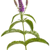 veronica_magic_show_purple_illusion_02-macro.jpg