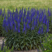 Magic Show® 'Wizard of Ahhs' - Spike Speedwell - Veronica hybrid