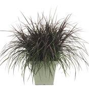 vertigopennisetum.jpg