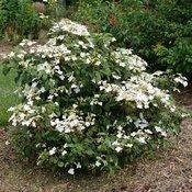 Steady Eddy™ - Doublefile Viburnum - Viburnum plicatum var. tomentosum