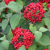 viburnum_red_ballon_mg_4069.jpg