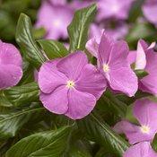 Cora® Cascade Lavender with Eye - Vinca - Catharanthus roseus