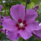 Violet Satin Hibiscus