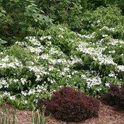 Wabi-Sabi® - Doublefile viburnum - Viburnum plicatum var. tomentosum