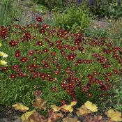 waltersgardens-hi19008-coreopsismercury-risingpp24689.jpg