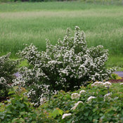 wedding_cake_spirea_spring.jpg