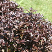 weigela-midnight-wine-shine-2.jpg