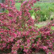 weigela_f_sonic_bloom_pink__img_1904.jpg