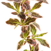 weigela_my_monet_purple_effect_01-macro.jpg