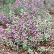 My Monet Purple Effect® - Weigela florida