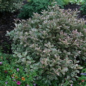 weigela_my_monet_purple_effect_2.jpg