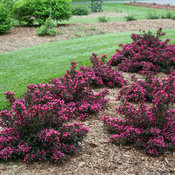 weigela_spilled_wine_img_0484.jpg