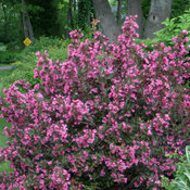 Wine & Roses weigela in garden