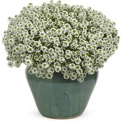 white-knight-lobularia-mono.jpg
