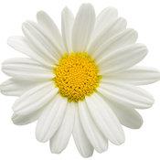 white_butterfly_argyranthemum_04.jpg