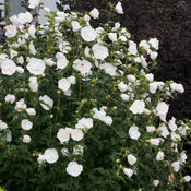 white_chiffon_hibiscus-3707.jpg