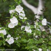 white_chiffon_hibiscus-7669.jpg
