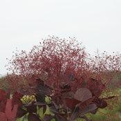 Winecraft Black cotinus