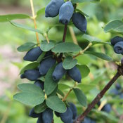 Yezberry Honey Bunch® - Japanese Haskap - Lonicera caerulea