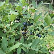yezberry_sugar_pie_lonicera_haskap.jpg