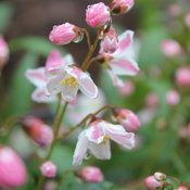 yuki_cherry_blossom_deutzia_-19.jpg