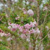 zuzu_flowering_cherry_1.jpg