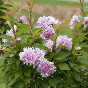 zuzu_flowering_cherry_2.jpg