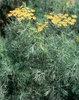 Fern Leaf - Dill - Anethum graveolens