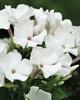 Flame White - Dwarf Garden Phlox - Phlox paniculata