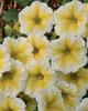 Supertunia® Citrus - Petunia hybrid