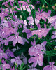 Laguna™ Heavenly Lilac - Lobelia erinus
