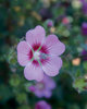 Slightly Strawberry™ - Cape Mallow - Anisodontea hybrid