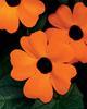 Orange A-Peel® - Black-Eyed Susan Vine - Thunbergia alata