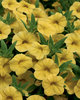 Superbells® Yellow - Calibrachoa hybrid