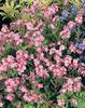 Wake Up Pink - Forget-Me-Not - Myosotis