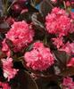 Gum Drop™ Coco Rose - Double Wax Begonia - Begonia