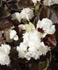 Gum Drop™ Coco White - Double Wax Begonia - Begonia