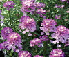 Absolutely Amethyst® - Candytuft - Iberis hybrid