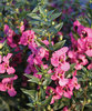 Angelface® Pink - Summer Snapdragon - Angelonia angustifolia
